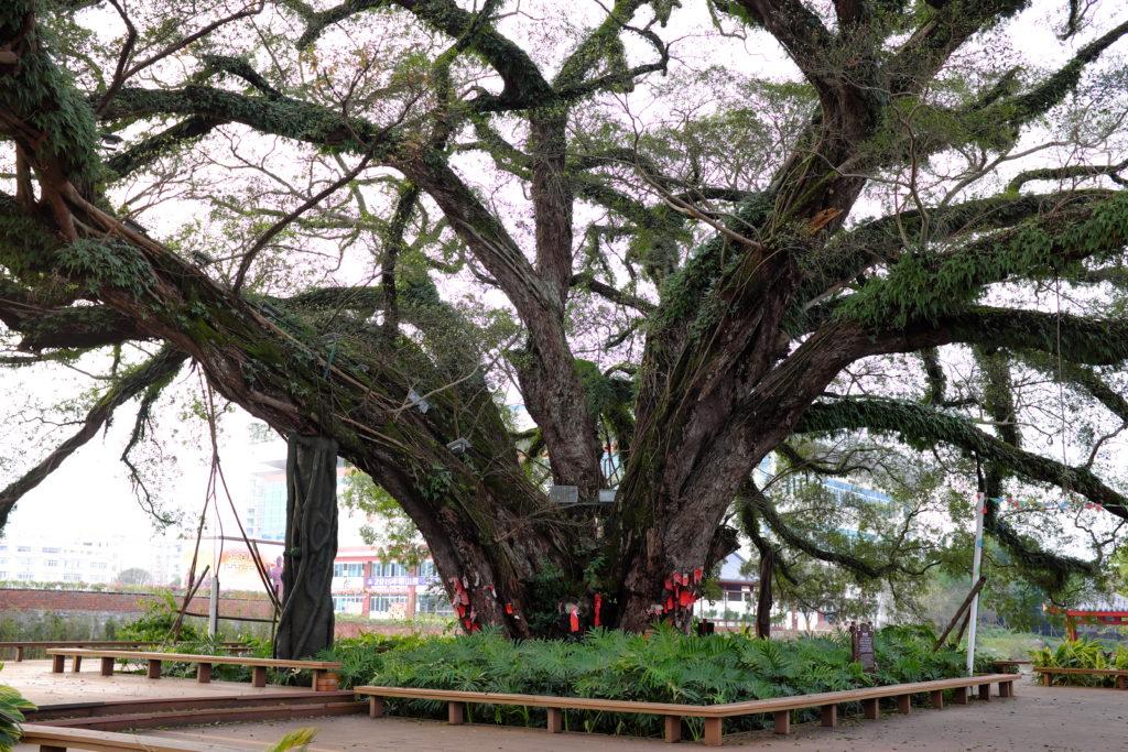 mächtige Banyanbäume