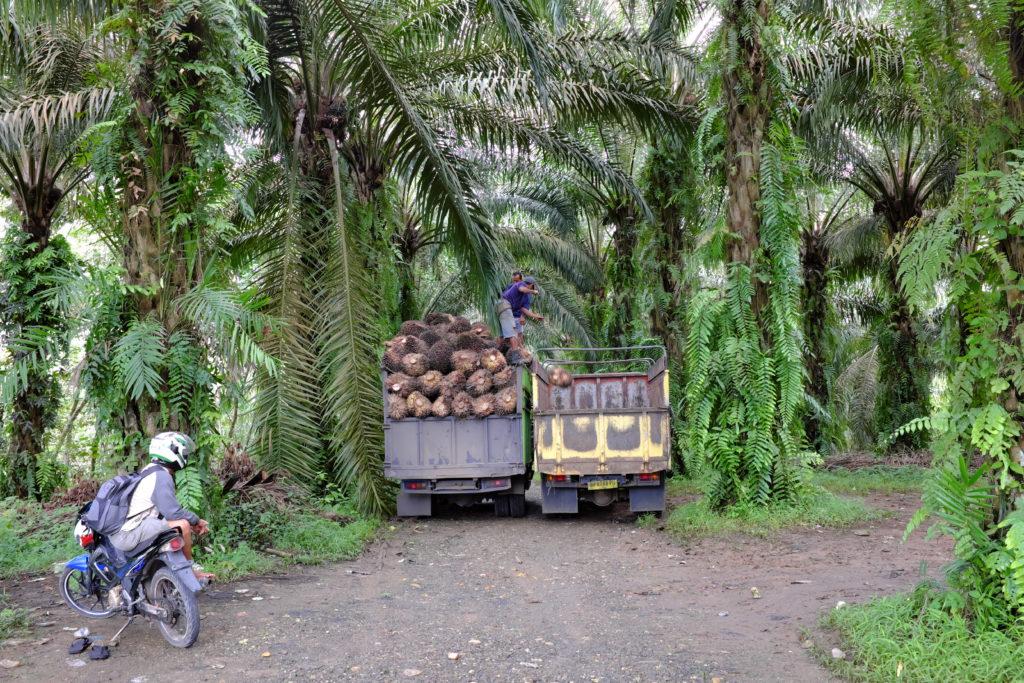 Palmöl Ernte