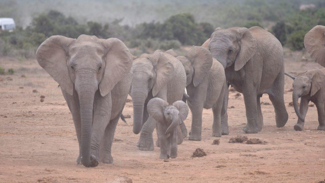 Elefanten im Addo