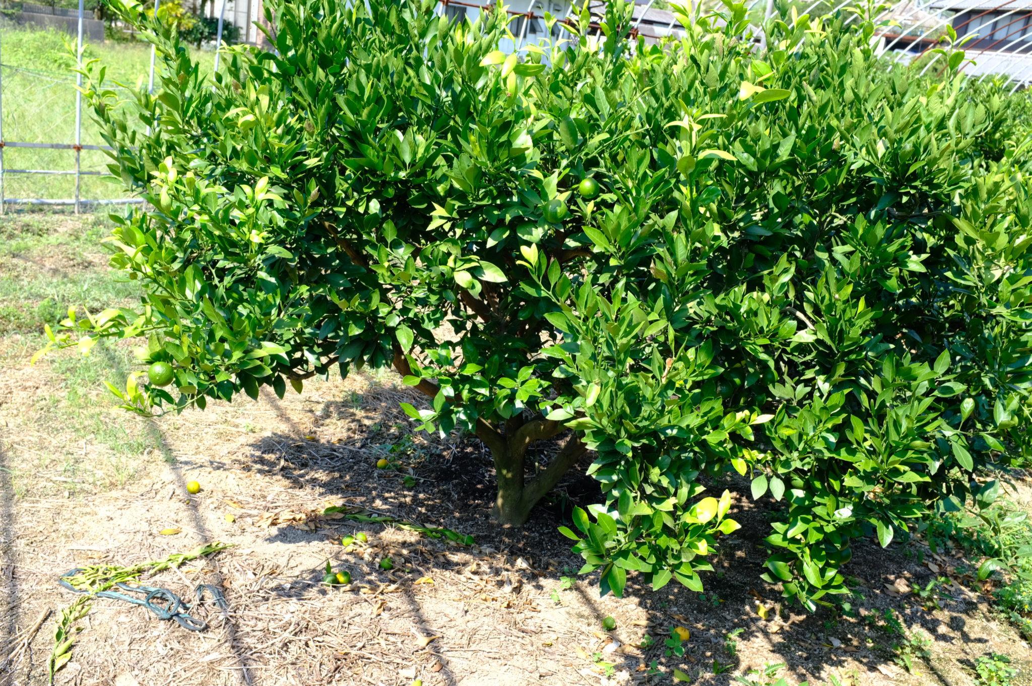 Mediterranes Klima, lässt Feigen und Mandarinen gedeihen