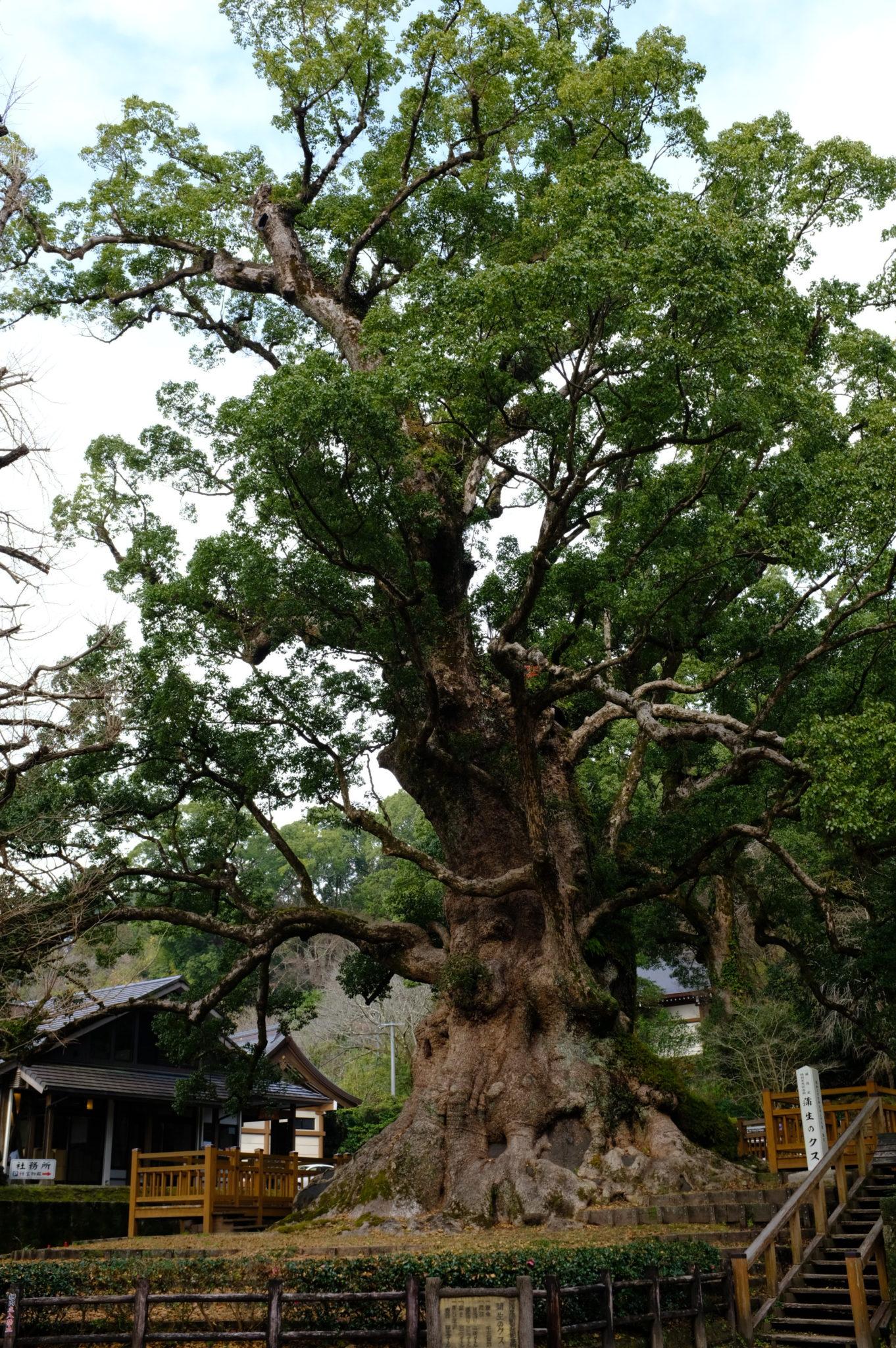 Dickster Baum Japans