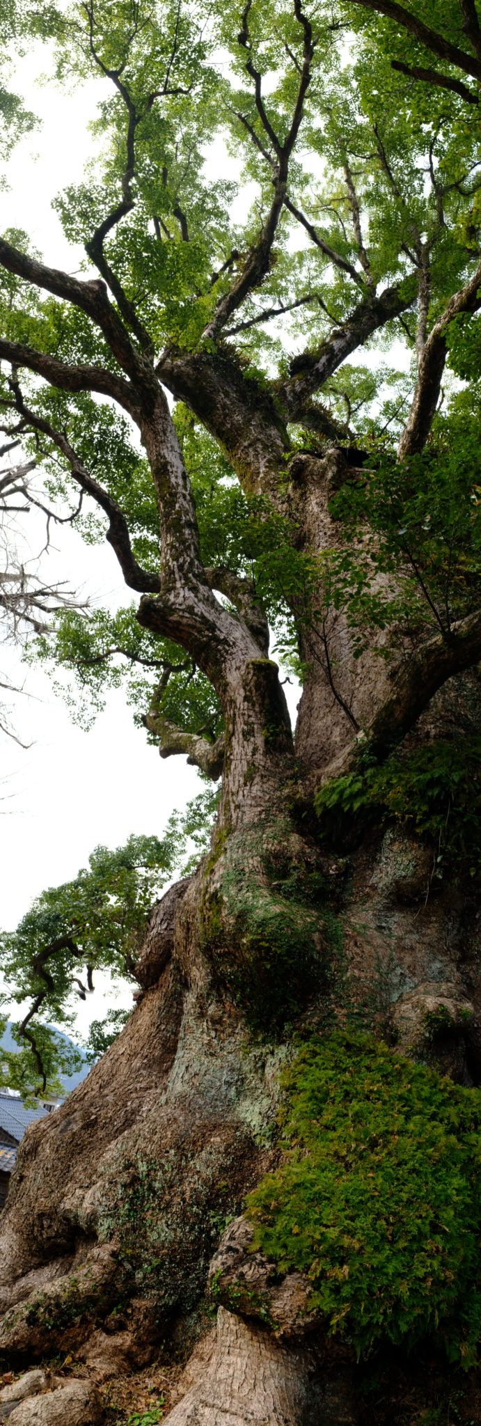 Kampferbaum