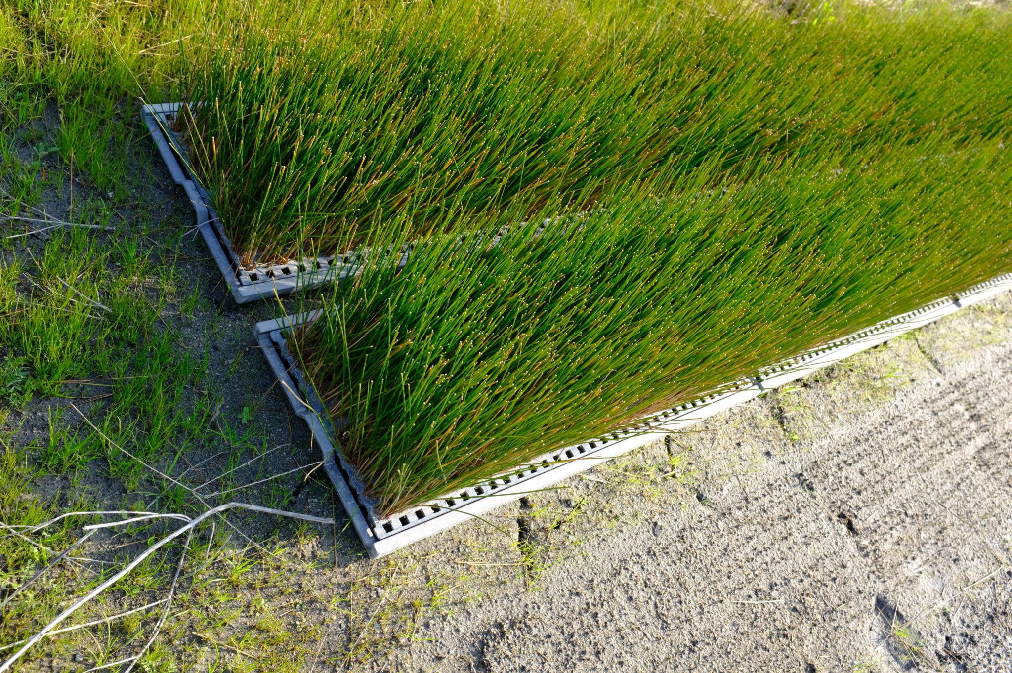 Reis Jungpflanzen, fertig zum Setzen