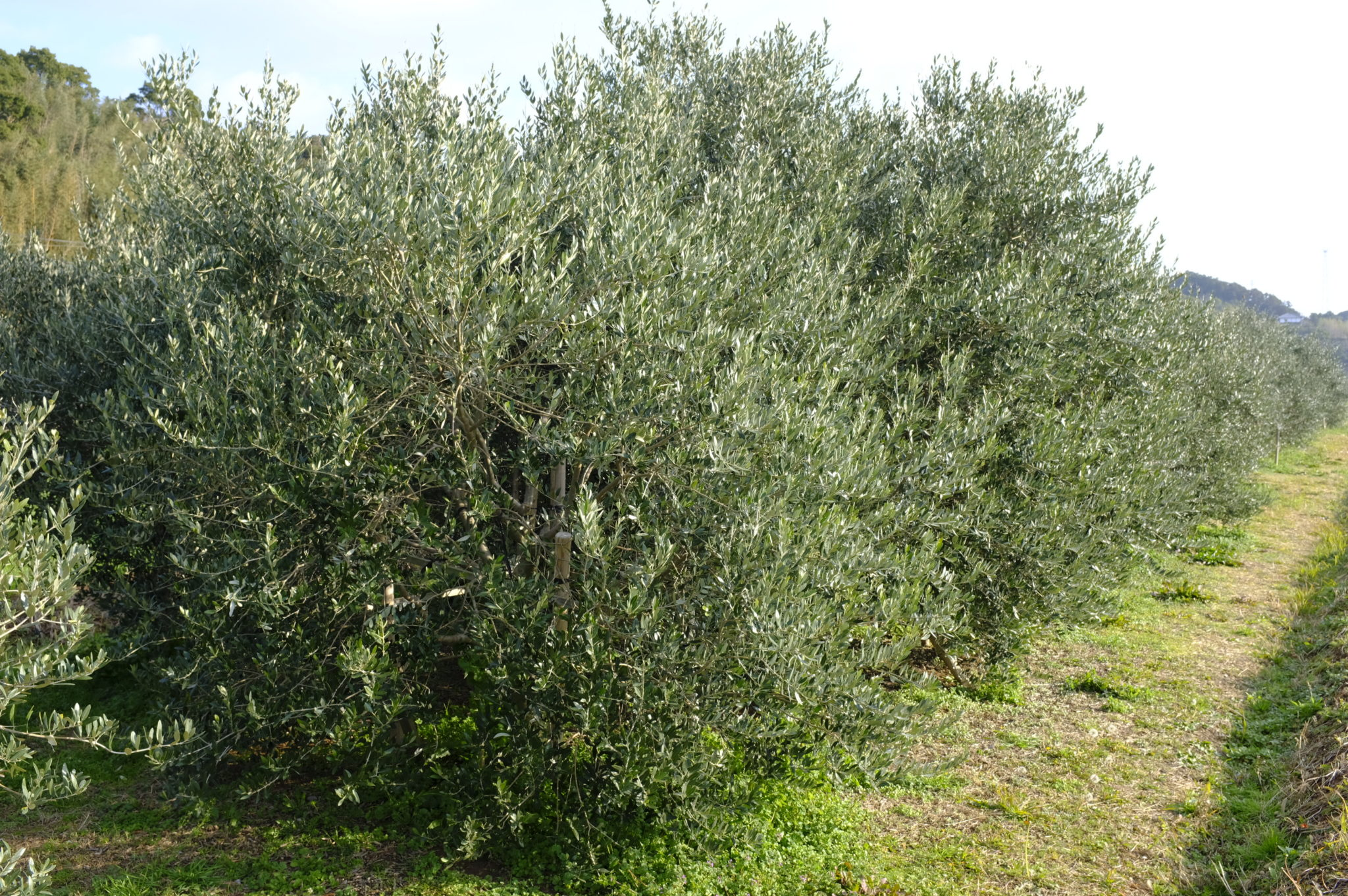 Olivenhaine auf Iki